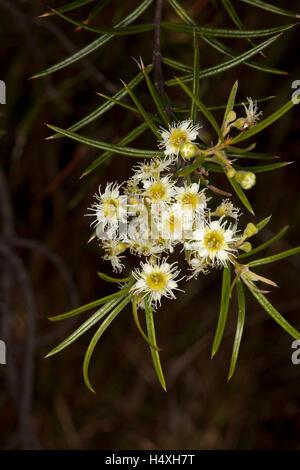 Cluster von schöne cremige weiße Blumen & schlanke grüne Blätter ...