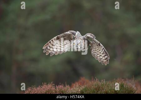 Große gehörnte Eule / Tiger Eule (Bubo Virginianus) in mächtige Flug vor den Rand eines Waldes auf einer Lichtung - Stockfoto