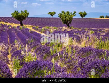 Lavendelfelder in Valensole mit Olivenbäumen. Sommer in Alpes de Hautes Provence, südlichen französischen Alpen, - Stockfoto