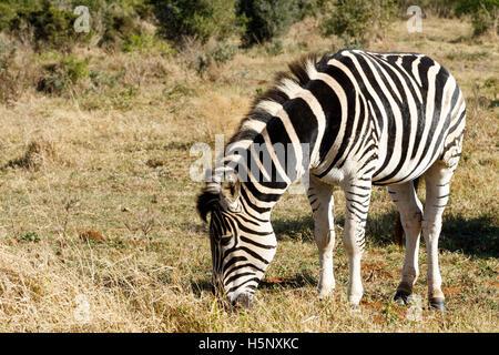 Burchell Zebra Rasen im Bereich Essen.
