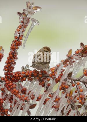 Chipping Sparrow (Spizella Passerina), thront Erwachsenen auf eisigen Zweig der Yaupon Stechpalme (Ilex Vomitoria) - Stockfoto