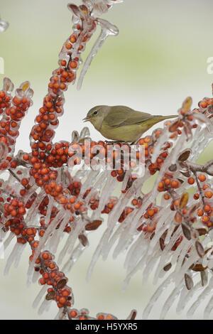 Orange-gekrönter Warbler (Vermivora Celata), Erwachsene thront auf eisigen Zweig der Yaupon Stechpalme (Ilex Vomitoria) - Stockfoto