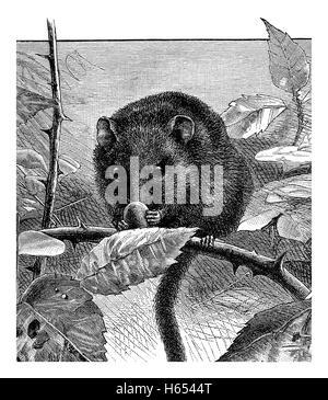 1883 schwarz-weiß Gravur eines Hasel Siebenschläfer oder Haselmaus (Muscardinus Avellanarius) - Stockfoto