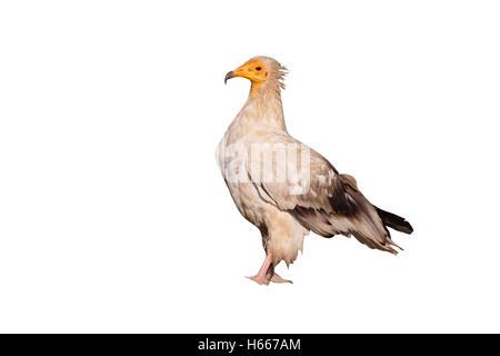 Schmutzgeier, Neophron Percnopterus, einziger Vogel am Boden, Spanien, Juli 2016 - Stockfoto