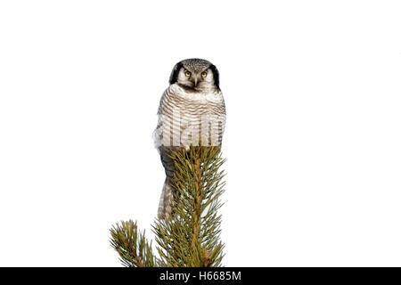 Habicht, Eule, Surnia Ulula, Winter, Finnland - Stockfoto