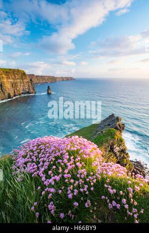 Coastal Sparsamkeit wächst am Rande der Klippen von Moher, County Clare, Irland. - Stockfoto