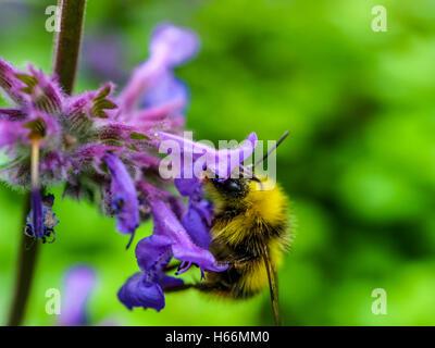 Biene in einer Lavendel Blume - Stockfoto