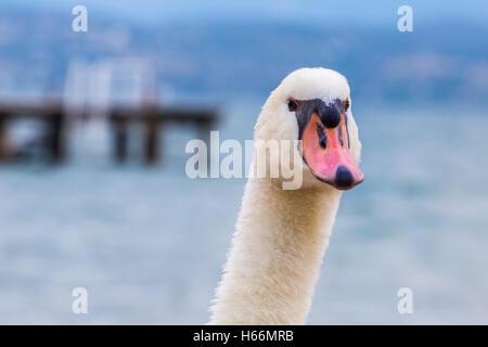 Ein Schwan, Kopf und Hals von vorne mit einem See und Kai in den unscharfen Hintergrund gesehen - Stockfoto
