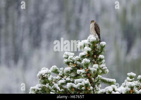 Juvenile Sharp – Shinned Hawk auf einem schneebedeckten Baum an einem winterlichen Herbsttag in Kananaskis Country, - Stockfoto