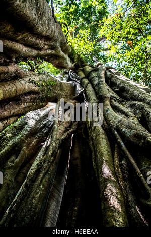 Bali Indonesien Trekking Benjamini Baum im Dschungel in der Nähe von Lake Tamblingan - Stockfoto