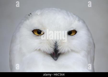 Schnee-Eule (Bubo Scandiacus). Tierwelt Tier. - Stockfoto