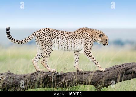 Gepard (Acinonix Jubatus) zu Fuß auf umgestürzten Baum, Masai Mara National Reserve, Kenia - Stockfoto
