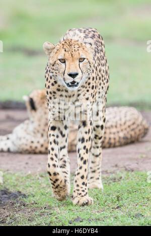 Gepard (Acinonix Jubatus) zu Fuß auf Savanne, Blick auf Kamera, Masai Mara National Reserve, Kenia - Stockfoto