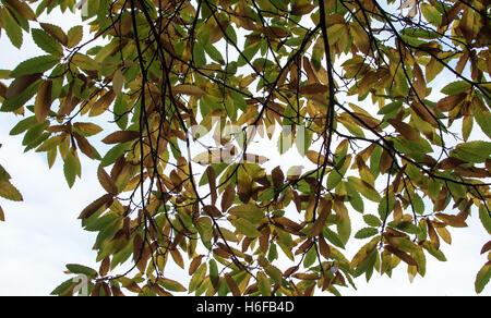 Kastanie Blätter - Stockfoto