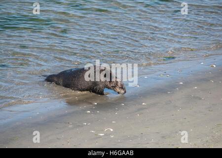 südlichen Seeotter, Enhydra Lutris Nereis, kommt an Land Sonnen am Strand von Moss Landing, Kalifornien, USA - Stockfoto