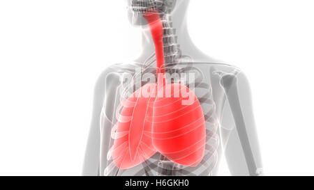 Darstellung der Luftröhre mit Lungen Stockfoto, Bild: 57643852 - Alamy
