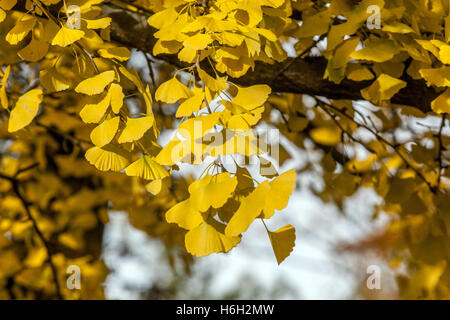 ginkgo biloba baum mit gelben bl tter im herbst stockfoto bild 163578406 alamy. Black Bedroom Furniture Sets. Home Design Ideas