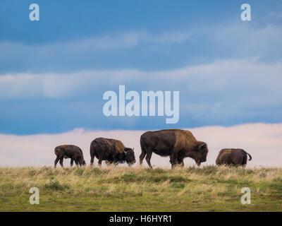 Bison durchstreifen der Ebenen, Süd-Einheit, Theodore-Roosevelt-Nationalpark in North Dakota. - Stockfoto