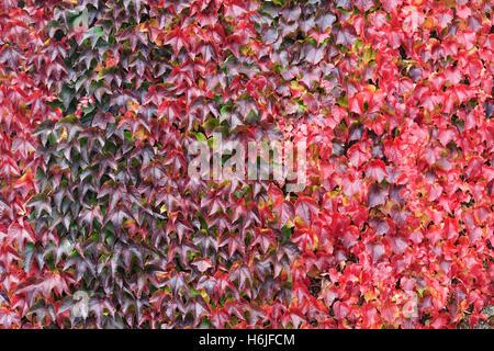 Parthenocissus Tricuspidata. Boston-Efeu Blätter im Herbst. - Stockfoto