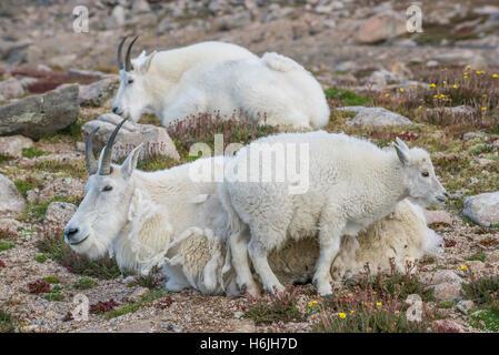 Bergziege (Oreamnos Americanus), Erwachsene mit Kind, Alpine Zone, Rocky Mountains, Colorado USA - Stockfoto