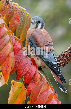 American Kestrel oder Sperber Falco Sparverius, Männlich, thront auf Zweig Staghorn Sumach (Rhus Typhina) Herbst, - Stockfoto