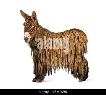 Seitenansicht eines Poitou-Esels mit Rasta Fell isoliert auf weiss - Stockfoto