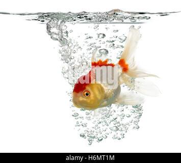 Löwen Kopf Goldfische schwimmen isoliert auf weiss - Stockfoto