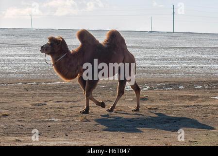 Kamel im Tärelsch National Park in der Nähe von Ulaanbaatar, Mongolei - Stockfoto
