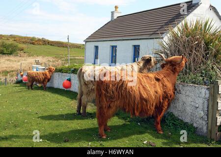Highland Kühe auf gemeinsame Weideland, Essen, die Anlagen und die Hecke aus einem Bauerngarten Fionnphort Isle - Stockfoto