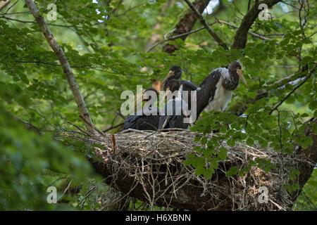 Schwarze Störche (Ciconia Nigra), nachkommen, Küken im Nest, hoch oben in einer alten Buche, vier Erwachsene Geschwister - Stockfoto