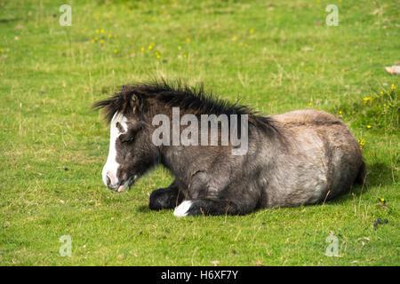 Bucht, wildes Pony Fohlen (Equus Caballus) dösen an einem warmen Tag, durch niedrige Morgensonne beleuchtet. Gower - Stockfoto