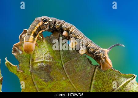Rebe Hawk Moth unechtes Auge Raupe (Hippotion Rosetta) - Stockfoto