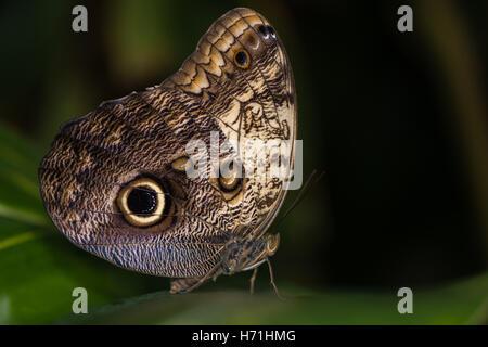 Riesen Eule Schmetterling (Caligo Memnon). Enorme Mittel- und südlichen amerikanischen Schmetterling in der Familie - Stockfoto