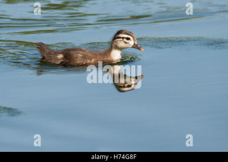 Baby Entchen schwimmen im Wasser mit Reflexion - Stockfoto