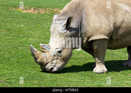 Weißer Rhinoceros (Ceratotherium Simum) Weiden - Stockfoto