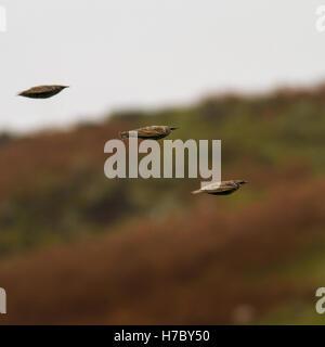Stare fliegen in Formation, Versammlung in Kleingruppen für einen Winter Roost, Ilkley, Yorkshire, Großbritannien - Stockfoto