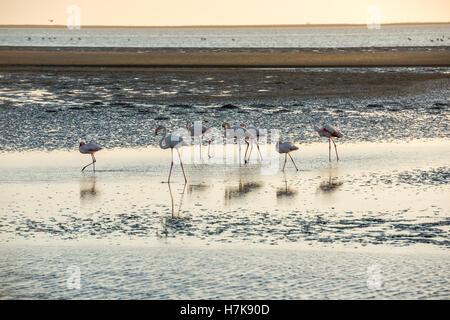 Eine Gruppe von weißen und rosa Flamingos bewegt sich entlang der Atlantischen Ozean Untiefen in Walvis Bay der - Stockfoto