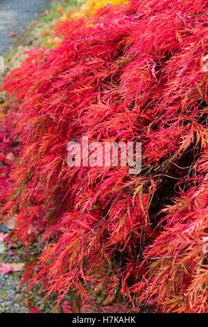 Gefiederten Rotes Laub, verstärkt durch Herbst Färbung der kleinen japanischen Ahorn, Acer Palmatum var. Dissectum - Stockfoto