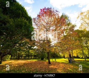 Ziemlich bunte Baum in der Herbst-Sonne als die Farbe der Blätter wechseln - Stockfoto