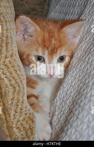 kleine süße Ingwer Kätzchen spielen in die Kissen auf dem sofa - Stockfoto