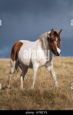 Wilde Welsh Mountain Pony auf der Black Mountain Range in Brecon-Beacons-Nationalpark, Wales, Großbritannien - Stockfoto