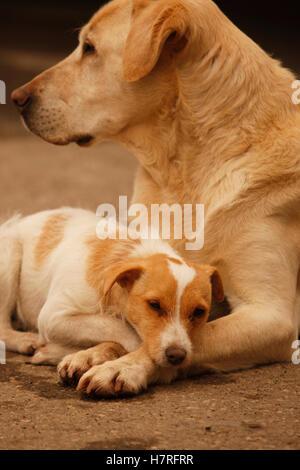 Porträt von Jack-Russell-Terrier und gelber Labrador - Stockfoto