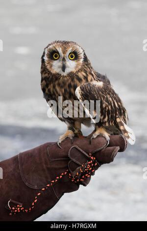 CAPTIVE: Sumpfohreule sitzt auf einem Handler-Leder-Handschuh, Yunan Alaska - Stockfoto