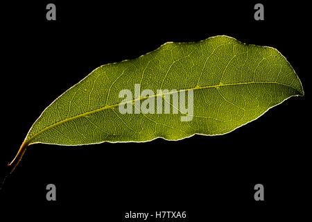 Grünes Blatt gegen Sonnenlicht, Makroaufnahme, schwarzem Hintergrund - Stockfoto
