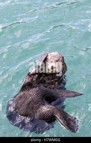 Nahaufnahme von einem Seeotter Schwimmen im Resurrection Bay, Seward, Yunan Alaska, USA - Stockfoto