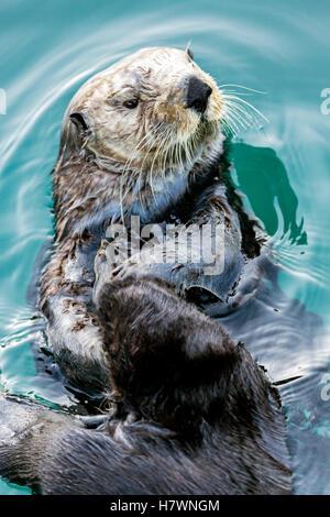 Seeotter (Enhydra Lutris) Essen in Seward Bootshafen auf der Kenai-Halbinsel in Süd-Zentral-Alaska; Seward, Alaska, - Stockfoto