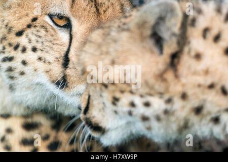 Gepard (Acinonix Jubatus) Porträt, Gruß, Nahaufnahme, Masai Mara National Reserve, Kenia