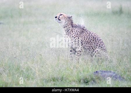 Gepard (Acinonix Jubatus) sitzen auf Savanne bei Regen, schütteln nassen Fell, Masai Mara National Reserve, Kenia - Stockfoto