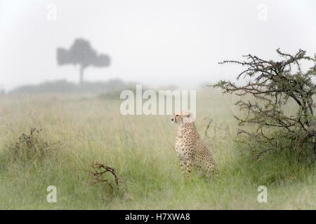 Gepard (Acinonix Jubatus) sitzen auf Savanne während Niederschlag, Masai Mara National Reserve, Kenia - Stockfoto