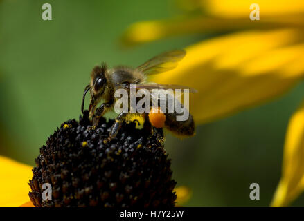 Honig Biene Apis Mellifera bestäubende Nectaring auf Blume - Stockfoto